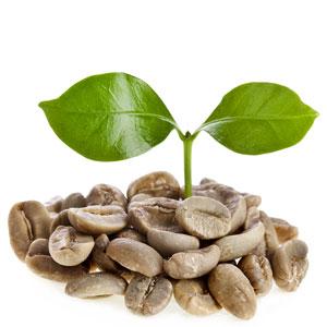 Koffie plant | literskoffie